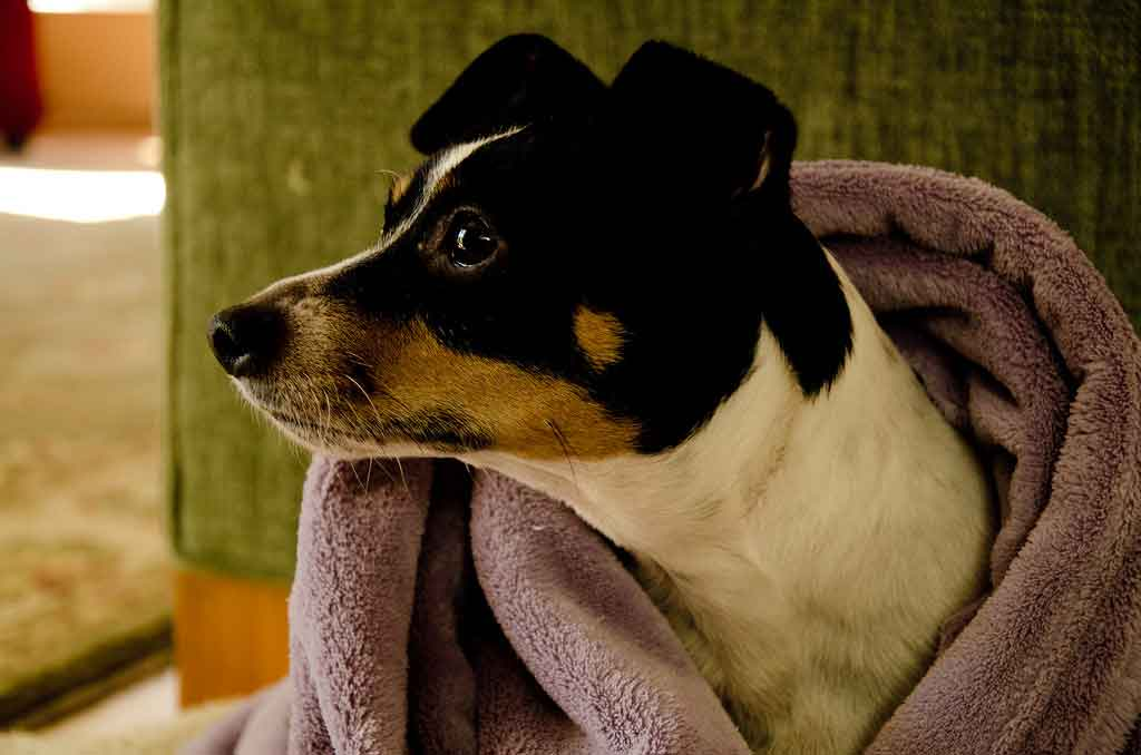 jack russell health issues