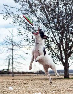 jack russell frisbee