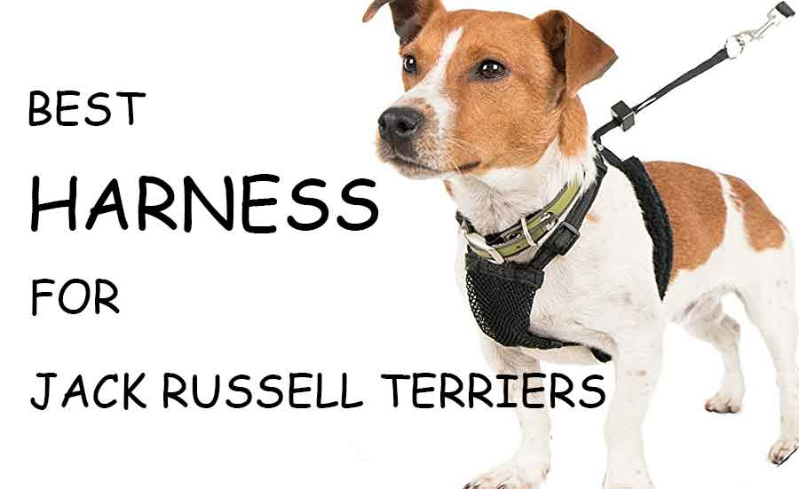 best harness for jack russell terrier
