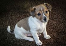 Socialize a jack russell puppy