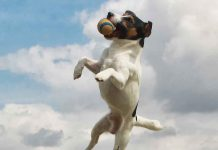 jack russell games