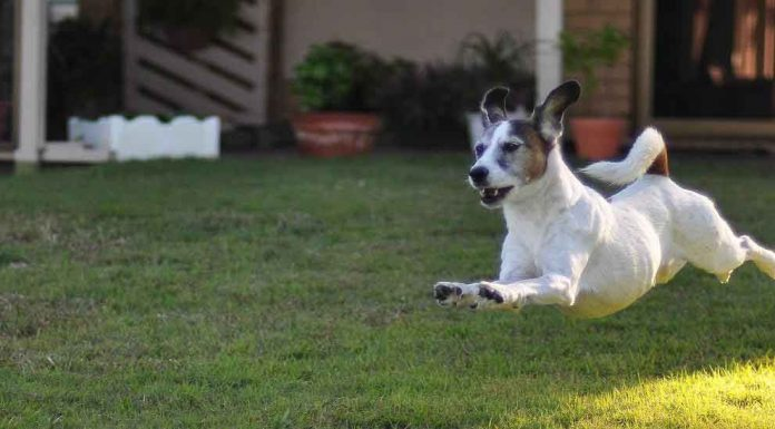 jack russell mentally stimulated